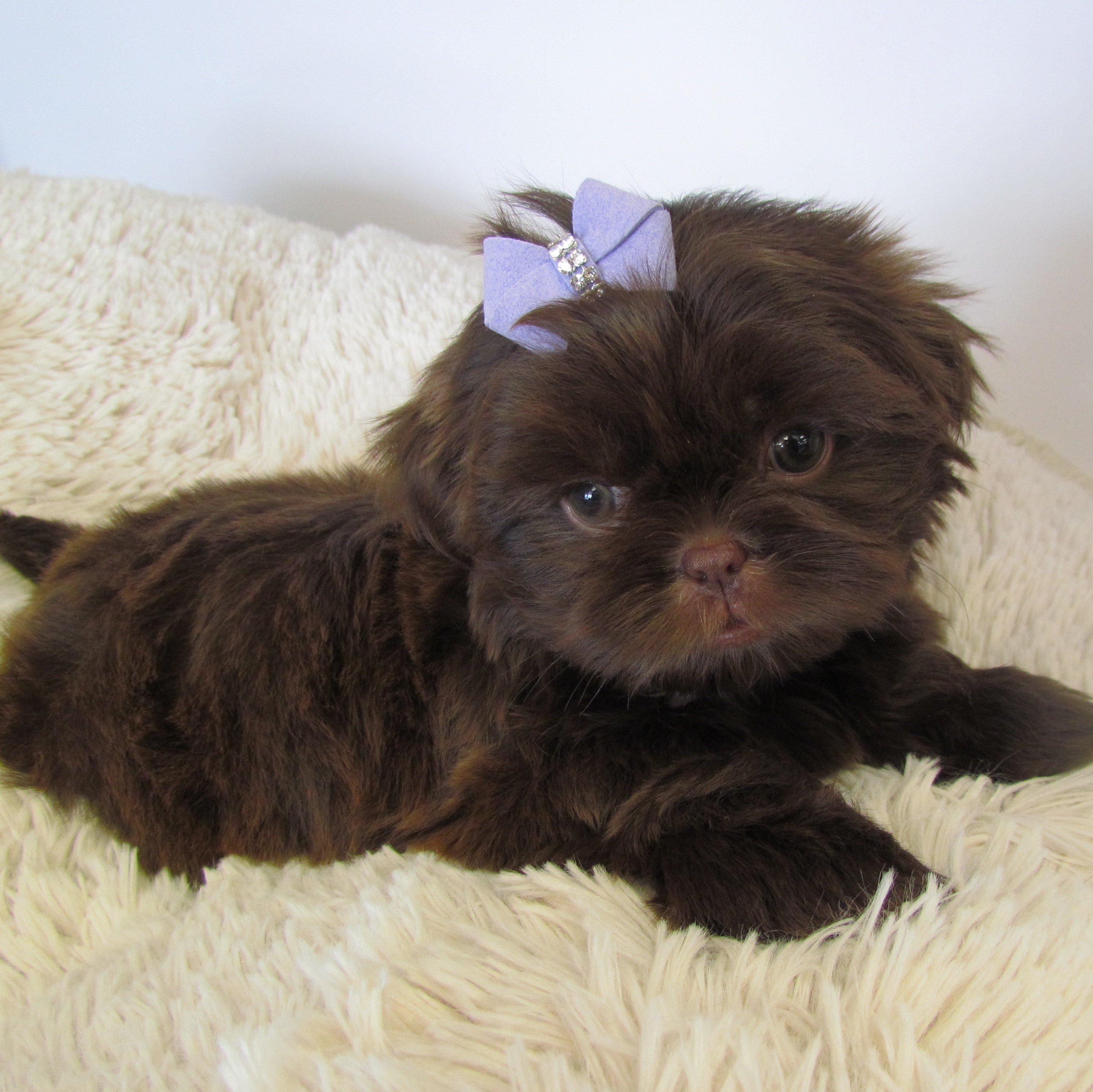 Shih Tzu Puppies For Sale | Shih Tzu Breed Info | Boca Raton